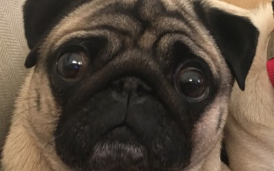 Cleaning Your Pug's Face